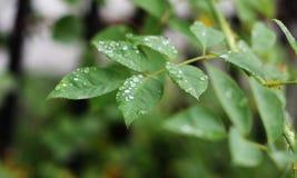 Baisses de l'eau sur des feuilles d'arbre Photos stock