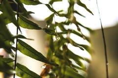 Baisses de l'eau sur des feuilles de fougère photos stock