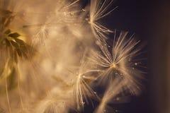 Baisses de l'eau sur des graines de pissenlit Photographie stock