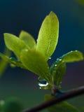 Baisses de l'eau sur des lames de source Photographie stock