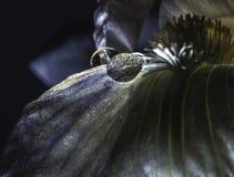 Baisses de l'eau sur des pétales d'iris Photos stock