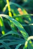 Baisses de l'eau sur l'herbe Photo stock