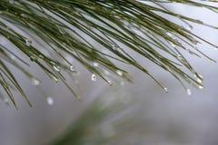 Baisses de l'eau sur la branche de pin photographie stock libre de droits