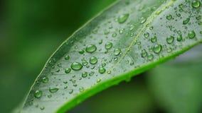 Baisses de l'eau sur la feuille verte banque de vidéos