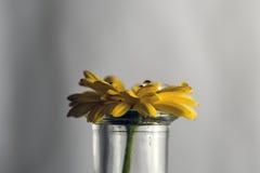 Baisses de l'eau sur la fleur jaune Photographie stock