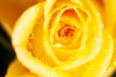 Baisses de l'eau sur la rose de jaune photographie stock libre de droits