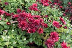 Baisses de l'eau sur les fleurs rouges du chrysanthème photo stock