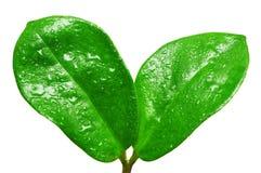Baisses de l'eau sur les lames vertes fraîches Images stock
