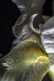 Baisses de l'eau sur les pétales blancs d'iris Photos stock