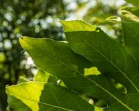 Baisses de l'eau sur une feuille verte Image libre de droits