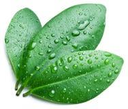 Baisses de l'eau sur une feuille verte. images stock