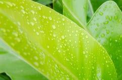 Baisses de l'eau sur une feuille verte Photographie stock