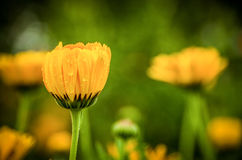 Baisses de l'eau sur une fleur de pissenlit Photos stock