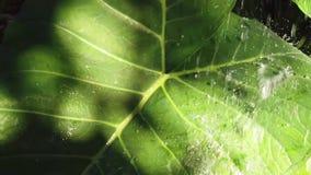 Baisses de l'eau tombant sur la feuille verte au-dessus de l'ombre, fin, mouvement lent, feuillage d'usine de taioba banque de vidéos