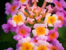 Baisses de pluie étées perché autour des bourgeons et des fleurs de haie Image libre de droits