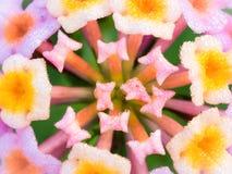 Baisses de pluie étées perché autour des bourgeons et des fleurs de haie Photographie stock libre de droits