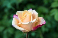 Baisses de pluie ou de rosée sur les pétales sensibles de la fleur rose images libres de droits