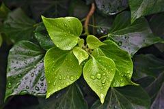 Baisses de pluie perlant sur les feuilles vertes image libre de droits