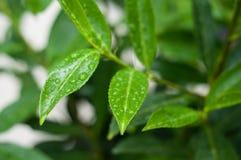 baisses de pluie sur des feuilles dans un jardin photographie stock libre de droits