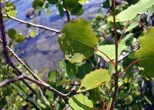 Baisses de pluie sur des feuilles par temps ensoleillé Photographie stock libre de droits