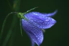 Baisses de pluie sur la fleur pourprée photo libre de droits
