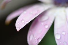 Baisses de pluie sur la fleur pourprée Image libre de droits