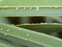 Baisses de pluie sur la palmette de Bismarck Photos libres de droits
