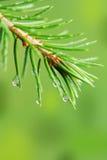 Baisses de pluie sur le branchement de pin Photos libres de droits