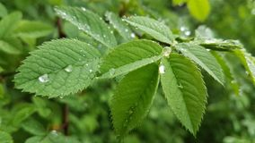 Baisses de pluie sur les feuilles Image stock