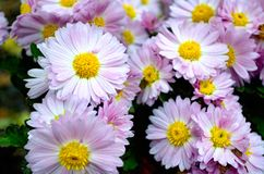 Baisses de pluie sur les pétales violets Photo libre de droits