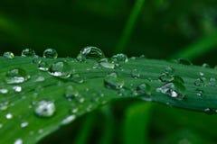 Baisses de pluie sur une feuille d'hémérocalle Photographie stock