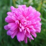 Baisses de rosée de début de la matinée sur une fleur rose Photographie stock libre de droits