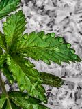 Baisses de rosée de marijuana de matin Image libre de droits