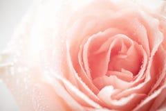 Baisses de rosée de Rose Images libres de droits