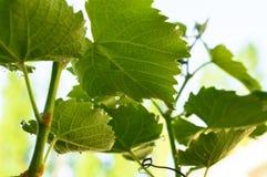 Baisses de rosée et une feuille verte de raisin Vignoble ensoleillé de ressort photographie stock libre de droits