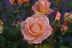 Baisses de rosée s'accrochant aux pétales d'une pêche Rose Photo libre de droits