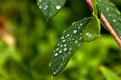 Baisses de rosée sur de vraies feuilles Photo libre de droits
