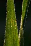 Baisses de rosée sur des lames d'herbe images stock