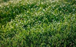Baisses de rosée sur l'herbe fraîche de ressort un matin de ressort Utilisation comme fond Photos libres de droits