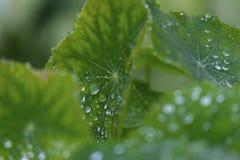 Baisses de rosée sur la feuille vert clair Photographie stock