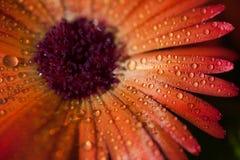 Baisses de rosée sur la fleur images stock