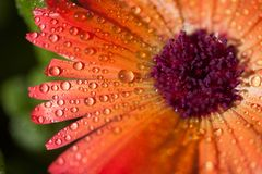 Baisses de rosée sur la fleur images libres de droits
