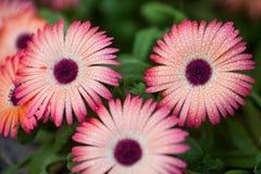 Baisses de rosée sur la fleur image stock