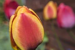 Baisses de rosée sur la tulipe Photographie stock