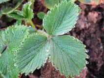 Baisses de rosée sur les feuilles de la fraise Photos stock