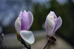 Baisses de rosée sur les fleurs rouges et blanches de la magnolia Image libre de droits