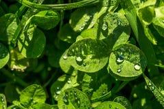 Baisses de rosée sur les lames vertes Image libre de droits