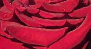 Baisses de rosée sur les pétales de la rose d'écarlate photos stock