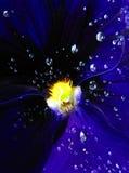Baisses de rosée sur une fleur bleue profonde Image stock