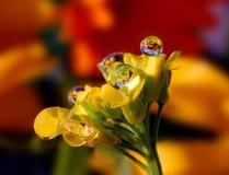 Baisses de rosée sur une fleur jaune Images stock